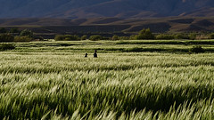 Berber boys walking in the wheat field, Alemdoun, Roses Valley, Morocco (Alex_Saurel) Tags: arbres architecture green maroc northafrica walking blé maghreb boys travel landscape tamazɣa people sunset imeġrib almaghrib montagnes photospecs ⵜⴰⵎⴰⵣⵗⴰ divers imagetype fullframe afrique photojournalism wheatfield scans stockcategories marcher pleinformat field المغرب time ⵍⵎⵖⵔⵉⴱ garçons champs photoreportage sony50mmf14sal50f14