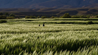 Berber boys walking in the wheat field, Alemdoun, Roses Valley, Morocco