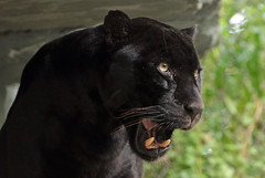 jaguar Mowgli Artis BB2A6934 (j.a.kok) Tags: mowgli artis animal mammal zoogdier dier jaguar zwartejaguar blackjaguar kat cat zuidamerika southamerica pantheraonca