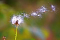 Seeds flying (elenashen5) Tags: seeds weed autumn