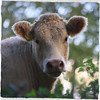 soft (Dickie-Dai-Do) Tags: cow bullock young bull