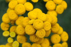 Tansy in bloom (monikahschuschu) Tags: tansy flower plant wildflower nature