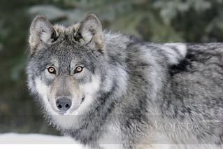 Lobo Gris - Grey Wolf - Banff NP - Canada