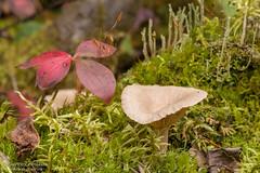 Automne en forêt / Fall colors (Pierre Lemieux) Tags: québec canada ca champignon mushroom automne fall red rouge forêtmontmorency