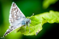 117_Papillons_9457 (darry@darryphotos.com) Tags: melle entomologie macro papillon lhespériedespotentilles