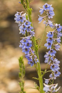 Flora Canadese
