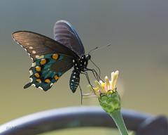 Black Swallowtail (Ollie girl) Tags: swallowtail butterfly garden zinnia september texas backlit
