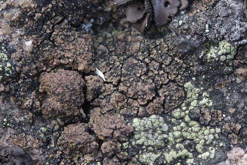 Brown Cobblestone Lichen - Acarospora fuscata