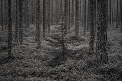 one (Stefano Rugolo) Tags: stefanorugolo pentax k5 smcpentaxm50mmf17 forest tree one monochrome hälsingland sweden blackandwhite sverige depthoffield