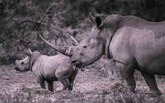 Staying close to mum (Coisroux) Tags: rhinoceros whiterhino kandwe safari southafrica africanwildlife d5500 nikond nikond5500 blackandwhite monochrome ceratotheriumsimum monochromia