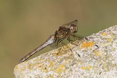 Common Darter Dragonfly (explored) (Anne Richardson) Tags: insect invertebrate wildlife nature macro macrophotography sigma150mm dragonfly darter commondarter southamptonoldcemetery