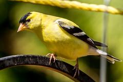 American Goldfinch (Spinus tristis) (NigelJE) Tags: americangoldfinch goldfinch spinustristis spinus fringillidae nigelje lakecountry okanagan truefinch
