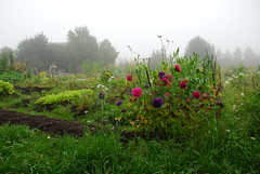 ... (gnulp) Tags: siirtolapuutarha hatanpää tampere syksy kukat sumu