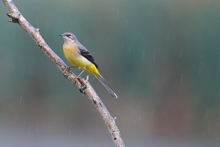Grey Wagtail in the rain