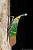 Lantern Bug (Saiva transversolineata) (Tom's Macro and Nature Photographs) Tags: macrophotography insects hemiptera truebugs lanternbug planthopper rainforest sabah borneo danumvalley fulgoridae