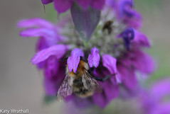 Under the petals (Katy Wrathall) Tags: 2017 august eastriding eastyorkshire england summer bee bergamot garden herb insect