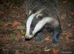 Badger (Meles meles) - Buckinghamshire (Alan Woodgate) Tags: badger wild