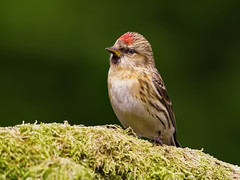Lesser redpoll ( Carduelis cabaret ) - Raised crest !! (Clive Brown 72) Tags: songbird redpoll finch branch mossy lichen wales