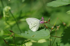 Kleiner Kohlweißling (Aah-Yeah) Tags: kleiner kohlweisling small white pieris rapae schmetterling butterfly tagfalter marquartstein achental chiemgau bayern
