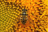 Myathropa florea (Batman Hoverfly) - Everett, WA USA (Nick Dean1) Tags: animalia arthropoda arthropod hexapoda hexapod insect insecta diptera syrphidae syrphinae syrphini eristalis eristalinae washington washingtonusa washingtonstate southeverett everett canon canon7d macro