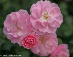 "In the garden, ""Rosa Hybride Bonica 82"" (A.J. Boonstra) Tags: rosahybridebonica82 roses rose roos flowers ef100mmf28lmacroisusm canon70d canoneos canon eefde"