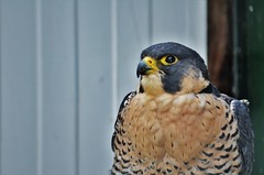Peregrine Falcon (stavioni) Tags: peregrine falcon thorp perrow bird birds prey flying display yorkshire