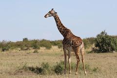 20170616_2601_Masai Mara_Girafe Masai (fstoger) Tags: kenya masaimara viesauvage wildlife safari girafe girafemasai masaigiraffe afrique africa