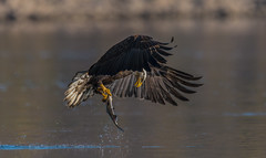 Bald Eagle (nikunj.m.patel) Tags: eagle baldeagle raptor birdofprey usa nature wildlife photography avian birds bird outdoors fishing fish catch river maryland conowingo migration nikon action food