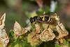 Potter wasp caterpillar hunting #1 (Lord V) Tags: macro bug insect wasp potterwasp