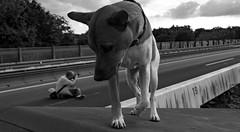 David & Goliath (gabrieleskwar) Tags: outdoor hund himmel fotograf fotografieren portrait schwarzweiss spaziergang a40 gesperrte autobahn ruhrgebiet duisburg homberg