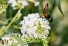 DSC_6622 clearwing moth (dllarson2009) Tags: kansas bakerwetlands