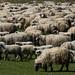 Mais carneiros