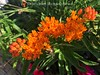 Butterfly weed (Lisa Cancade) Tags: lisacancadehackett pleurisyroot milkweed asclepias butterflyweed