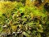 Solorina saccata (davidgenneygroups) Tags: lichen uk scotland solorinasaccata solorina saccata foliose fertile