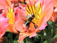 Eco Warrior  at Work (Kevin Pendragon) Tags: abbeyhousegardens amazing awesome bee pollen pollenator black yellow white flower lilly orange red nectar nature