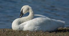Trumpeter Swan (Cygnus buccinator) (ekroc101) Tags: birds trumpeterswan cygnusbuccinator bc colwood esquimaltlagoon