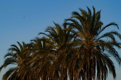 Palm Trees (enessadi) Tags: