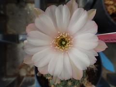 My Echinopsis hybrid. (madoldman21) Tags: echinopsis