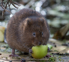 Water Vole (Delboy Studios) Tags: makemesmile watervoleblacktrack water rodent apple claws