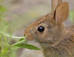 Welcome (Slow Turning) Tags: sylvilagusfloridanus easterncottontail rabbit bunny portrait closeup eating feeding food foraging forage weeds vegetation summer southernontario