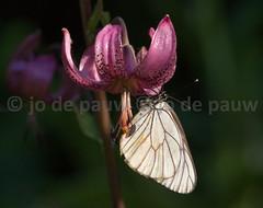 Black-veined white | Aporia crataegi | Groot geaderd witje (Jo De Pauw) Tags: kazakhstan wildlifephotography natuurfotografie kazachstan centralasia jodepauw горнаяульбинка grootgeaderdwitje gornayaulbinka aporiacrataegi blackveinedwhite butterfly insect vlinder insekt