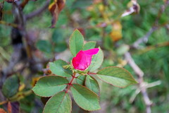 Single Rose Petal. (dccradio) Tags: lumberton nc northcarolina robesoncounty rose rosepetal roses flower floral flowers greenery leaves leaf grass lawn plant nature nikon d40 dslr outdoors outside stem
