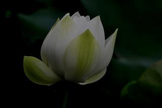 _DSC0003 Lotus