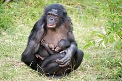 Safety (DirkVandeVelde on and off) Tags: europa europ europe belgium belgie belgica belgique buiten biologie antwerpen anvers antwerp animalia animal malines mechelen malinas muizen mammalia zoo zoogdieren planckendael park dieren dierenpark sony fauna primates primaten bonobo