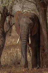 SAVANNAH ELEPHANT (dmberman1) Tags: eastafrica wildlife savannahelephants tarangirenationalpark animals tanzania africasafari