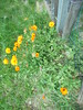 417 (en-ri) Tags: fiorellini giallo little flowers sony sonysti verde erba grass