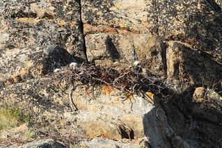 Rough-legged Hawk chicks