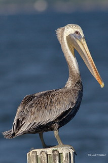 Brown Pelican, Florida, FL IMG_2572