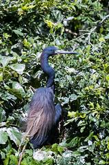 Nicaragua - Isla Ometepe: Blue heron (Exper!ence it) Tags: nicaragua islands isla ometepe nature birds beauty blue heron water nikond300 80400mm