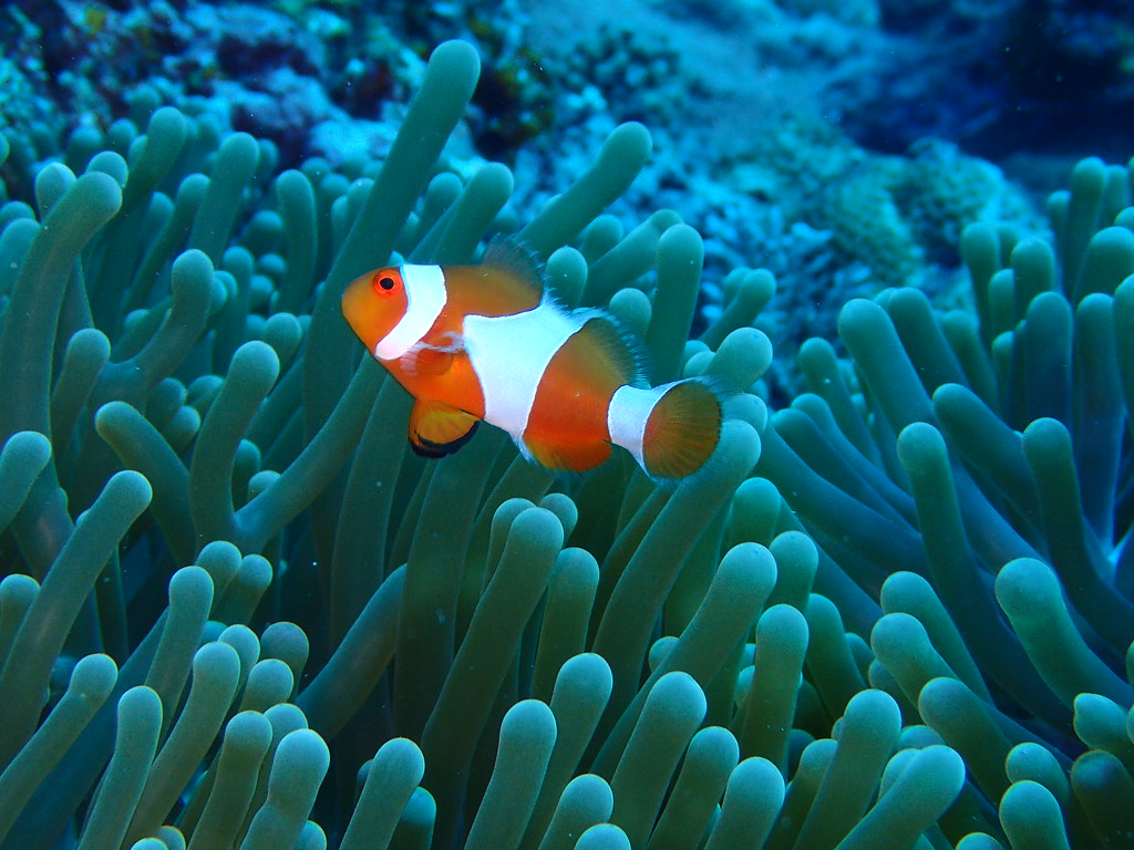 The world 39 s best photos of clownfish flickr hive mind for Clown fish for sale